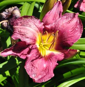Hemerocallis 'Chicago Royal Robe' closeup foto