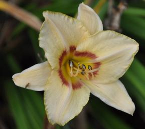 Hemerocallis 'Gay Cravat'