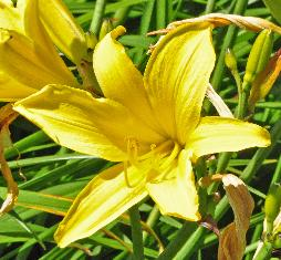 Hemerocallis 'Lark Song' closeupbloem