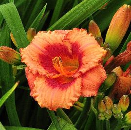 Hemerocallis 'Strawberry Candy ' closeup