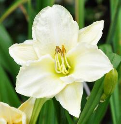 Hemerocallis 'White temptation'
