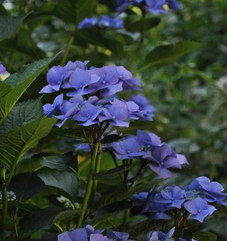 Hydrangea-macrophylla-Blaumeise-picture-in-august2011