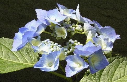 Hydrangea-macrophylla-Blaumeise-picture-of-young-flowers