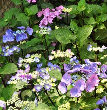 Hydrangea-macrophylla-Zorro-global-view