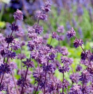 Salvia verticulata 'Purple Rain'